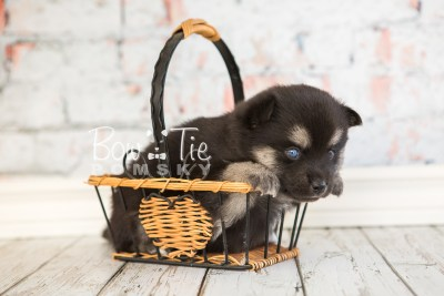 puppy32-week4-bowtiepomsky-com-bowtie-pomsky-puppy-for-sale-husky-pomeranian-mini-dog-spokane-wa-breeder-blue-eyes-pomskies-photo_fb-55