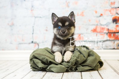 puppy32-week8-bowtiepomsky-com-bowtie-pomsky-puppy-for-sale-husky-pomeranian-mini-dog-spokane-wa-breeder-blue-eyes-pomskies-bowtie_pumsky_fb-0946