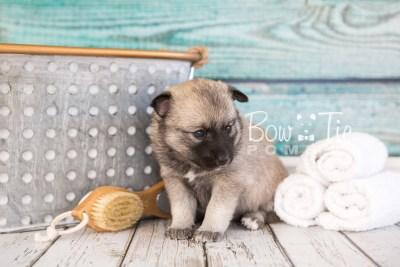 puppy33-week4-bowtiepomsky-com-bowtie-pomsky-puppy-for-sale-husky-pomeranian-mini-dog-spokane-wa-breeder-blue-eyes-pomskies-photo_fb-58