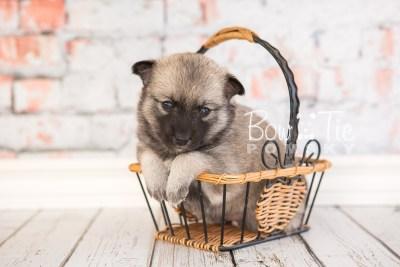 puppy33-week4-bowtiepomsky-com-bowtie-pomsky-puppy-for-sale-husky-pomeranian-mini-dog-spokane-wa-breeder-blue-eyes-pomskies-photo_fb-62