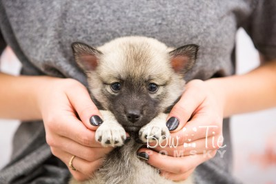 puppy33-week6-bowtiepomsky-com-bowtie-pomsky-puppy-for-sale-husky-pomeranian-mini-dog-spokane-wa-breeder-blue-eyes-pomskies-photo_fb-64