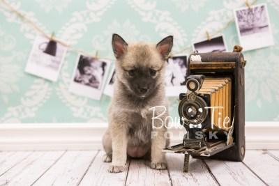 puppy33-week6-bowtiepomsky-com-bowtie-pomsky-puppy-for-sale-husky-pomeranian-mini-dog-spokane-wa-breeder-blue-eyes-pomskies-photo_fb-70