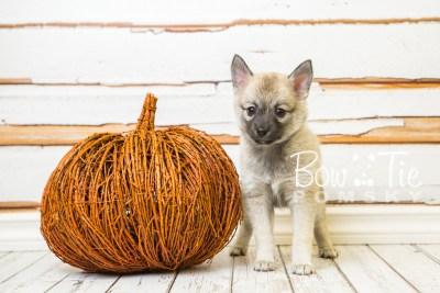 puppy33-week8-bowtiepomsky-com-bowtie-pomsky-puppy-for-sale-husky-pomeranian-mini-dog-spokane-wa-breeder-blue-eyes-pomskies-bowtie_pumsky_fb-0993
