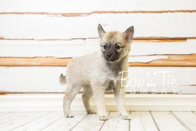 puppy33-week8-bowtiepomsky-com-bowtie-pomsky-puppy-for-sale-husky-pomeranian-mini-dog-spokane-wa-breeder-blue-eyes-pomskies-bowtie_pumsky_fb-1001