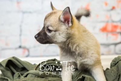puppy33-week8-bowtiepomsky-com-bowtie-pomsky-puppy-for-sale-husky-pomeranian-mini-dog-spokane-wa-breeder-blue-eyes-pomskies-bowtie_pumsky_fb-1035