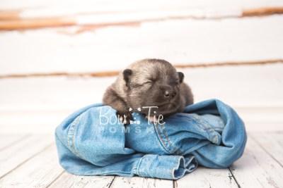 puppy34 week2 BowTiePomsky.com Bowtie Pomsky Puppy For Sale Husky Pomeranian Mini Dog Spokane WA Breeder Blue Eyes Pomskies photo-photo_fb-4