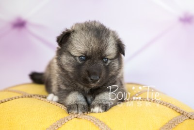 puppy34-week4-bowtiepomsky-com-bowtie-pomsky-puppy-for-sale-husky-pomeranian-mini-dog-spokane-wa-breeder-blue-eyes-pomskies-photo_fb-64