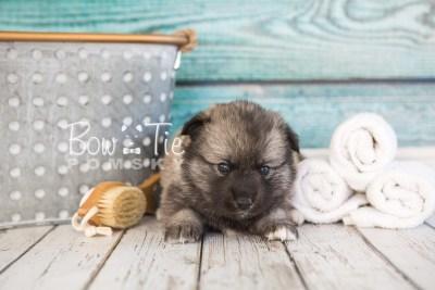 puppy34-week4-bowtiepomsky-com-bowtie-pomsky-puppy-for-sale-husky-pomeranian-mini-dog-spokane-wa-breeder-blue-eyes-pomskies-photo_fb-65