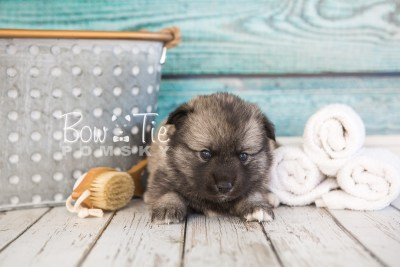 puppy34-week4-bowtiepomsky-com-bowtie-pomsky-puppy-for-sale-husky-pomeranian-mini-dog-spokane-wa-breeder-blue-eyes-pomskies-photo_fb-65