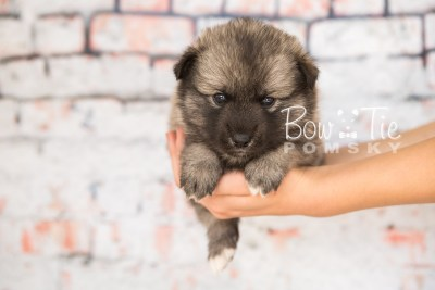 puppy34-week4-bowtiepomsky-com-bowtie-pomsky-puppy-for-sale-husky-pomeranian-mini-dog-spokane-wa-breeder-blue-eyes-pomskies-photo_fb-68