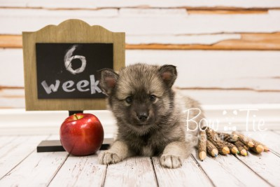 puppy34-week6-bowtiepomsky-com-bowtie-pomsky-puppy-for-sale-husky-pomeranian-mini-dog-spokane-wa-breeder-blue-eyes-pomskies-photo_fb-72