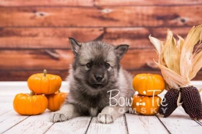 puppy34-week6-bowtiepomsky-com-bowtie-pomsky-puppy-for-sale-husky-pomeranian-mini-dog-spokane-wa-breeder-blue-eyes-pomskies-photo_fb-73