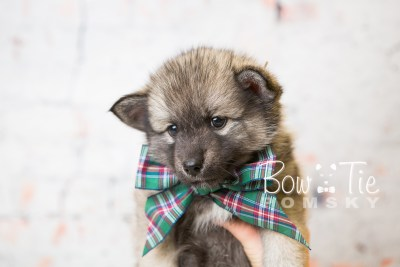 puppy34-week6-bowtiepomsky-com-bowtie-pomsky-puppy-for-sale-husky-pomeranian-mini-dog-spokane-wa-breeder-blue-eyes-pomskies-photo_fb-74