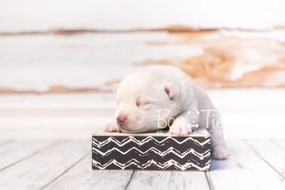 puppy35 week2 BowTiePomsky.com Bowtie Pomsky Puppy For Sale Husky Pomeranian Mini Dog Spokane WA Breeder Blue Eyes Pomskies photo-photo_fb-6