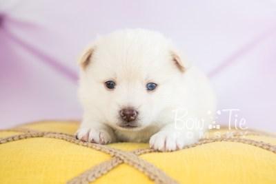 puppy35-week4-bowtiepomsky-com-bowtie-pomsky-puppy-for-sale-husky-pomeranian-mini-dog-spokane-wa-breeder-blue-eyes-pomskies-photo_fb-71