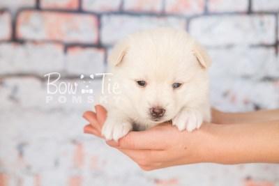 puppy35-week4-bowtiepomsky-com-bowtie-pomsky-puppy-for-sale-husky-pomeranian-mini-dog-spokane-wa-breeder-blue-eyes-pomskies-photo_fb-75