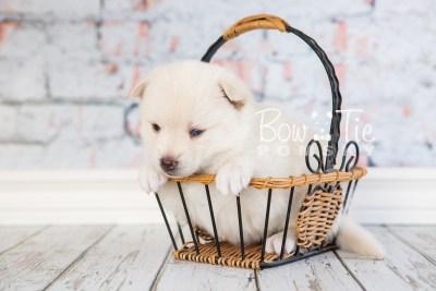 puppy35-week4-bowtiepomsky-com-bowtie-pomsky-puppy-for-sale-husky-pomeranian-mini-dog-spokane-wa-breeder-blue-eyes-pomskies-photo_fb-76