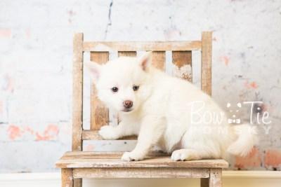 puppy35-week6-bowtiepomsky-com-bowtie-pomsky-puppy-for-sale-husky-pomeranian-mini-dog-spokane-wa-breeder-blue-eyes-pomskies-photo_fb-80