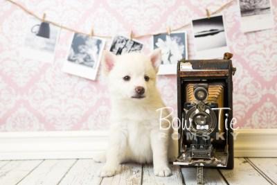puppy35-week6-bowtiepomsky-com-bowtie-pomsky-puppy-for-sale-husky-pomeranian-mini-dog-spokane-wa-breeder-blue-eyes-pomskies-photo_fb-83
