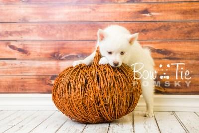 puppy35-week8-bowtiepomsky-com-bowtie-pomsky-puppy-for-sale-husky-pomeranian-mini-dog-spokane-wa-breeder-blue-eyes-pomskies-bowtie_pumsky_fb-1162