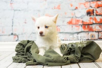puppy35-week8-bowtiepomsky-com-bowtie-pomsky-puppy-for-sale-husky-pomeranian-mini-dog-spokane-wa-breeder-blue-eyes-pomskies-bowtie_pumsky_fb-1197