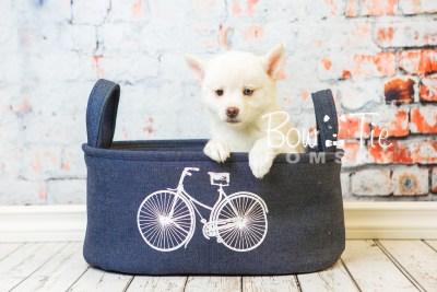 puppy35-week8-bowtiepomsky-com-bowtie-pomsky-puppy-for-sale-husky-pomeranian-mini-dog-spokane-wa-breeder-blue-eyes-pomskies-bowtie_pumsky_fb-1208