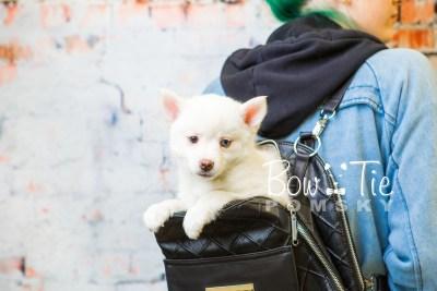 puppy35-week8-bowtiepomsky-com-bowtie-pomsky-puppy-for-sale-husky-pomeranian-mini-dog-spokane-wa-breeder-blue-eyes-pomskies-bowtie_pumsky_fb-1217