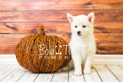 puppy36-week8-bowtiepomsky-com-bowtie-pomsky-puppy-for-sale-husky-pomeranian-mini-dog-spokane-wa-breeder-blue-eyes-pomskies-bowtie_pumsky_fb-1224