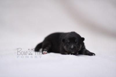 puppy5 BowTiePomsky.com Bowtie Pomsky Puppy For Sale Husky Pomeranian Mini Dog Spokane WA Breeder Blue Eyes Pomskies photo1