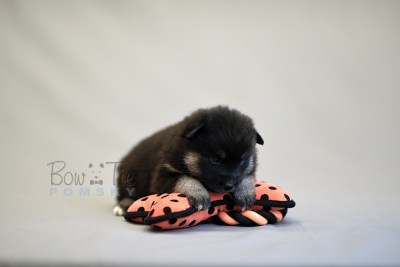 puppy5 BowTiePomsky.com Bowtie Pomsky Puppy For Sale Husky Pomeranian Mini Dog Spokane WA Breeder Blue Eyes Pomskies photo17