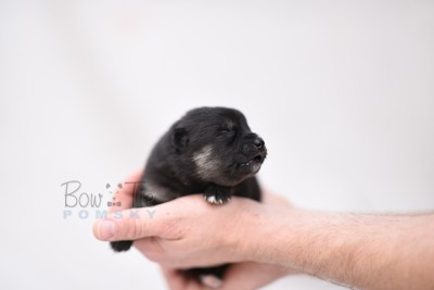 puppy5 BowTiePomsky.com Bowtie Pomsky Puppy For Sale Husky Pomeranian Mini Dog Spokane WA Breeder Blue Eyes Pomskies photo2