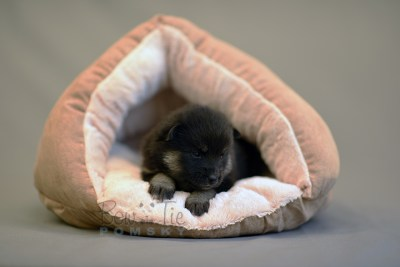 puppy5 BowTiePomsky.com Bowtie Pomsky Puppy For Sale Husky Pomeranian Mini Dog Spokane WA Breeder Blue Eyes Pomskies photo21