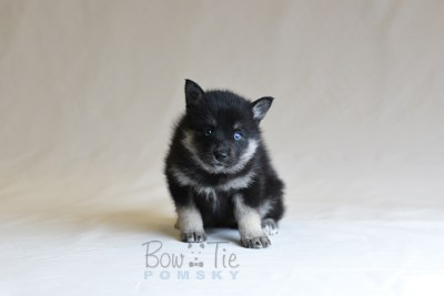 puppy5 BowTiePomsky.com Bowtie Pomsky Puppy For Sale Husky Pomeranian Mini Dog Spokane WA Breeder Blue Eyes Pomskies photo24