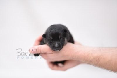 puppy5 BowTiePomsky.com Bowtie Pomsky Puppy For Sale Husky Pomeranian Mini Dog Spokane WA Breeder Blue Eyes Pomskies photo3