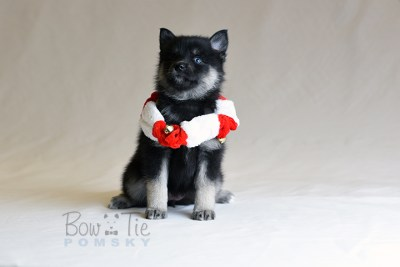 puppy5 BowTiePomsky.com Bowtie Pomsky Puppy For Sale Husky Pomeranian Mini Dog Spokane WA Breeder Blue Eyes Pomskies photo31
