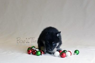 puppy5 BowTiePomsky.com Bowtie Pomsky Puppy For Sale Husky Pomeranian Mini Dog Spokane WA Breeder Blue Eyes Pomskies photo36