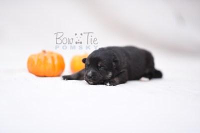 puppy5 BowTiePomsky.com Bowtie Pomsky Puppy For Sale Husky Pomeranian Mini Dog Spokane WA Breeder Blue Eyes Pomskies photo5