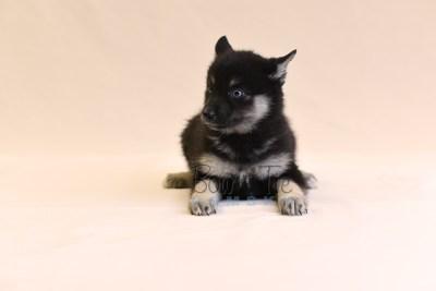 puppy5 BowTiePomsky.com Bowtie Pomsky Puppy For Sale Husky Pomeranian Mini Dog Spokane WA Breeder Blue Eyes Pomskies photo51