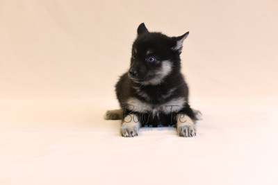 puppy5 BowTiePomsky.com Bowtie Pomsky Puppy For Sale Husky Pomeranian Mini Dog Spokane WA Breeder Blue Eyes Pomskies photo51