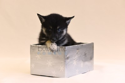 puppy5 BowTiePomsky.com Bowtie Pomsky Puppy For Sale Husky Pomeranian Mini Dog Spokane WA Breeder Blue Eyes Pomskies photo57