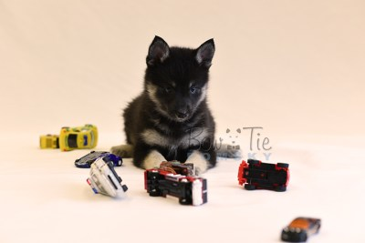 puppy5 BowTiePomsky.com Bowtie Pomsky Puppy For Sale Husky Pomeranian Mini Dog Spokane WA Breeder Blue Eyes Pomskies photo61