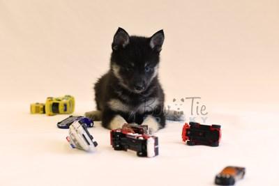 puppy5 BowTiePomsky.com Bowtie Pomsky Puppy For Sale Husky Pomeranian Mini Dog Spokane WA Breeder Blue Eyes Pomskies photo61
