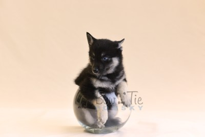 puppy5 BowTiePomsky.com Bowtie Pomsky Puppy For Sale Husky Pomeranian Mini Dog Spokane WA Breeder Blue Eyes Pomskies photo66