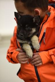 puppy5 BowTiePomsky.com Bowtie Pomsky Puppy For Sale Husky Pomeranian Mini Dog Spokane WA Breeder Blue Eyes Pomskies photo77