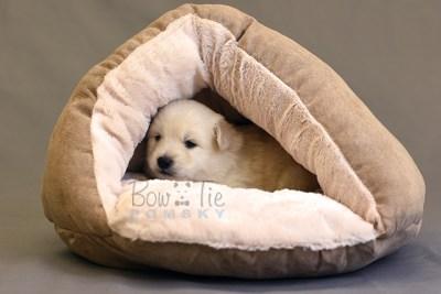 puppy6 BowTiePomsky.com Bowtie Pomsky Puppy For Sale Husky Pomeranian Mini Dog Spokane WA Breeder Blue Eyes Pomskies photo22