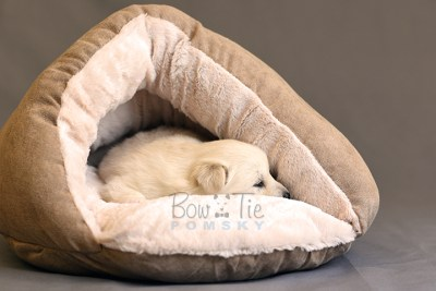 puppy6 BowTiePomsky.com Bowtie Pomsky Puppy For Sale Husky Pomeranian Mini Dog Spokane WA Breeder Blue Eyes Pomskies photo26