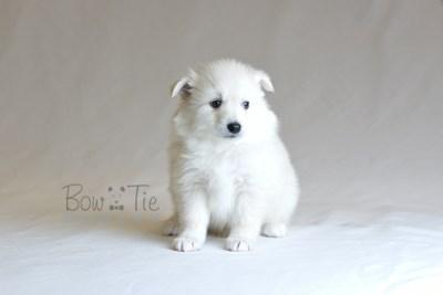 puppy6 BowTiePomsky.com Bowtie Pomsky Puppy For Sale Husky Pomeranian Mini Dog Spokane WA Breeder Blue Eyes Pomskies photo28