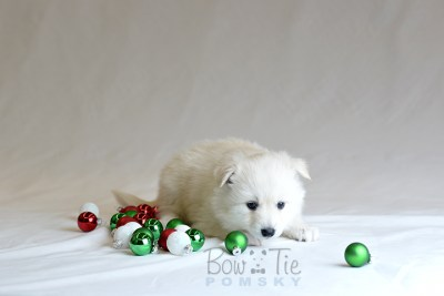 puppy6 BowTiePomsky.com Bowtie Pomsky Puppy For Sale Husky Pomeranian Mini Dog Spokane WA Breeder Blue Eyes Pomskies photo40
