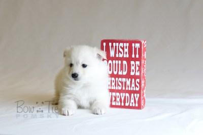 puppy6 BowTiePomsky.com Bowtie Pomsky Puppy For Sale Husky Pomeranian Mini Dog Spokane WA Breeder Blue Eyes Pomskies photo43