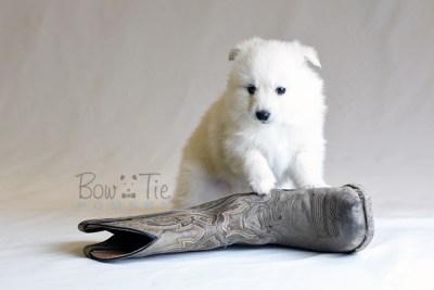 puppy6 BowTiePomsky.com Bowtie Pomsky Puppy For Sale Husky Pomeranian Mini Dog Spokane WA Breeder Blue Eyes Pomskies photo52